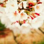 春うらら 桜ひらひら 心きらきら